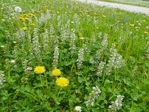 Dandelion and Ajuga reptans flowers in spring Stock Image