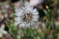 Dandelion is alive in real nature. royalty free stock image