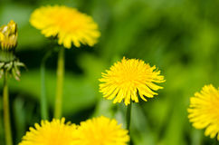Dandelion amongst others Royalty Free Stock Images