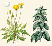 Dandelion And Nettle Royalty Free Stock Photography