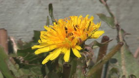 Dandelion and ant stock video footage