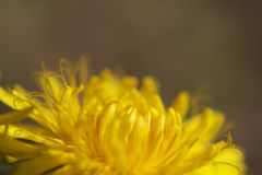 Dandelion art Royalty Free Stock Image