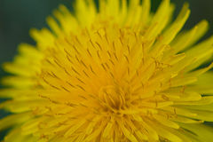 Dandelion art Stock Photo