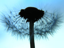 Dandelion as a silhouette Stock Images