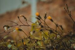 Dandelion autumn flowers Royalty Free Stock Images