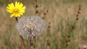 Dandelion autumn season Stock Photography
