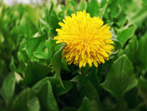 Dandelion awaken Stock Images