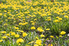 Dandelion background. The field of yellow Dandelion Stock Photo