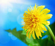 Dandelion on a background of blue sky Royalty Free Stock Images