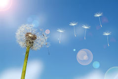 Dandelion on a background blue sky. Royalty Free Stock Photography