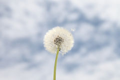 Dandelion background blue sky Stock Photography