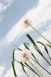 Dandelion background blue sky Royalty Free Stock Photography