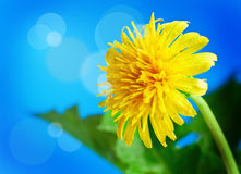 Dandelion on a background of blue sky Royalty Free Stock Photos