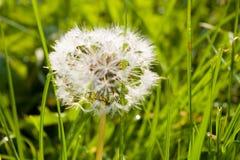 Dandelion background Stock Images
