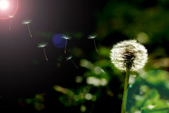 Dandelion on a background dark bokeh. Royalty Free Stock Image