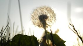 Dandelion on a background of the evening sun. Dandelion on the background of the evening sun, people pass by stock video