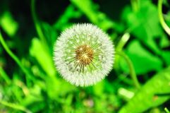 Dandelion on background green grass Royalty Free Stock Image