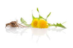 Dandelion background, herbal remedy. Royalty Free Stock Photography