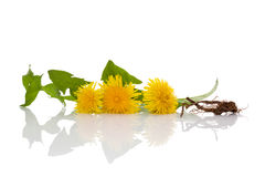 Dandelion background, herbal remedy. Stock Photos