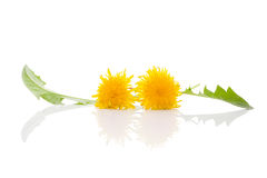 Dandelion background, herbal remedy. Stock Photography