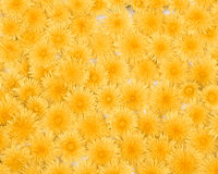 Dandelion Background Pattern Royalty Free Stock Photos