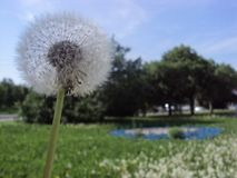 Dandelion on the background of a public park royalty free stock photo