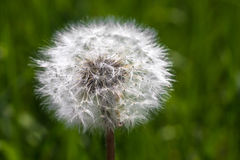 Dandelion. On a background of spring green grass Stock Images