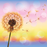 Dandelion on background of sunset Stock Image
