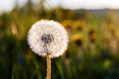 Dandelion background. White dandelion down to illuminate the sunlight Stock Images