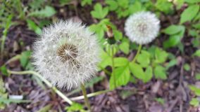 Dandelion on the background of wild nature Stock Photography