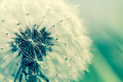 Dandelion with backlighting. Detail of a dandelion crossporcessed Stock Photography