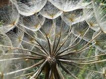 Dandelion in backlit Stock Photography