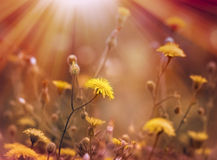 Dandelion is bathed in sunlight Stock Photography