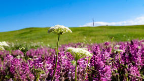 Dandelion-Bayanbulak Grassland Royalty Free Stock Photo