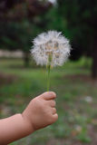 Dandelion Stock Photos