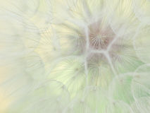 Dandelion. Beautiful Dandelion and butterfly,  first spring flower Royalty Free Stock Photo