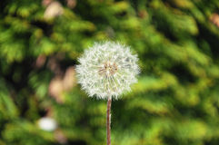 Dandelion. Beautiful Dandelion in The Carpathians Stock Photography