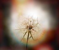 Dandelion - beautiful dandelion seeds (dandelion flower head) Stock Image