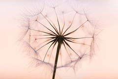 Dandelion. Beautiful dreamy dandelion detail closeup Stock Images