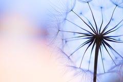 Dandelion. Beautiful dreamy dandelion detail macro stock photography