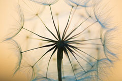 Dandelion. Beautiful dreamy dandelion seeds detail closeup Stock Photo