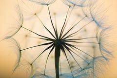 Dandelion. Beautiful dreamy dandelion seeds detail closeup stock photo