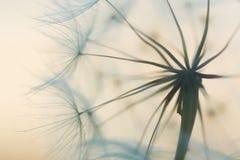 Dandelion. Beautiful dreamy dandelion seeds detail macro royalty free stock images