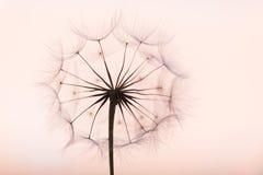 Dandelion. Beautiful dreamy dandelion silhouette detail closeup stock photography