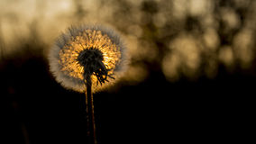 Dandelion. It is a beautiful dandelion. I like a lot Royalty Free Stock Images