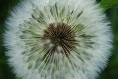 Dandelion. Beautiful dandelion in macro shooting Stock Image