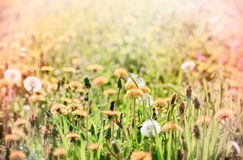 Dandelion on beautiful meadow Royalty Free Stock Photo