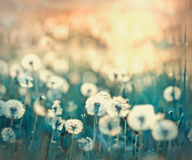 Dandelion on beautiful meadow Royalty Free Stock Images