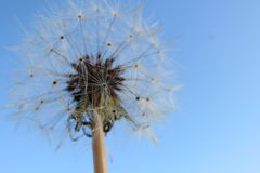 The Dandelion Royalty Free Stock Photos