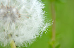 Dandelion. Beautiful white dandelion with a touch of the dew royalty free stock images